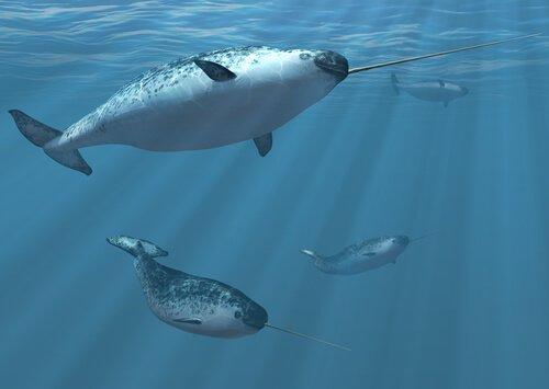 Quattro narvali nuotano assieme