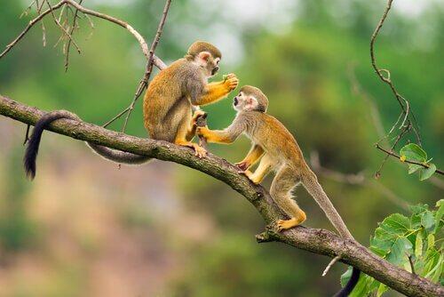 Due Scimmie scoiattolo su un ramo