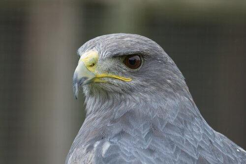 Falco grigio