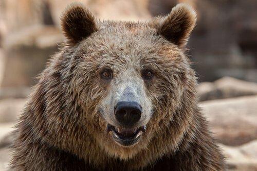 testa e muso dell'orso bruno europeo