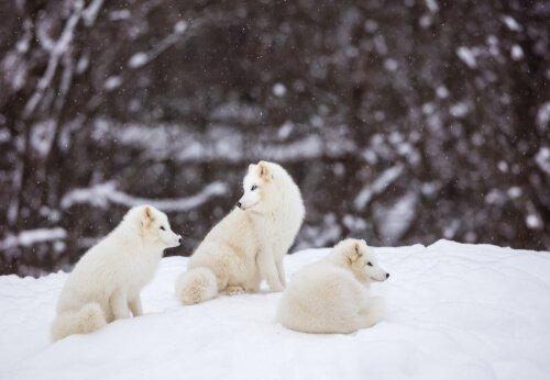 tre cuccioli di Volpe artica