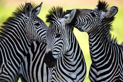 I colori della zebra: l'animale con la pelle più curiosa