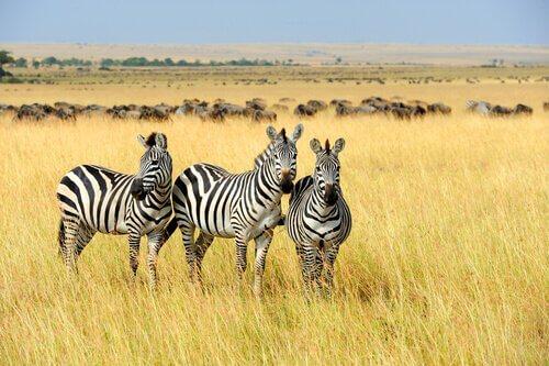 Zebre ferme nell'erba alta della savana