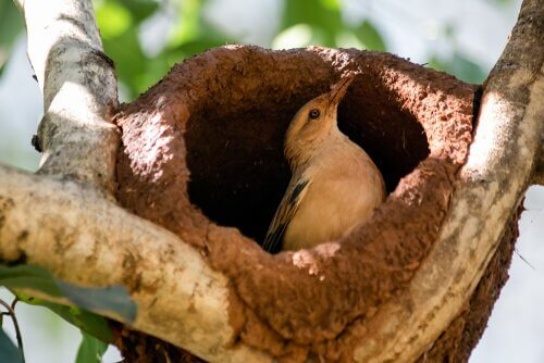 Uccello fornaio: un abile costruttore