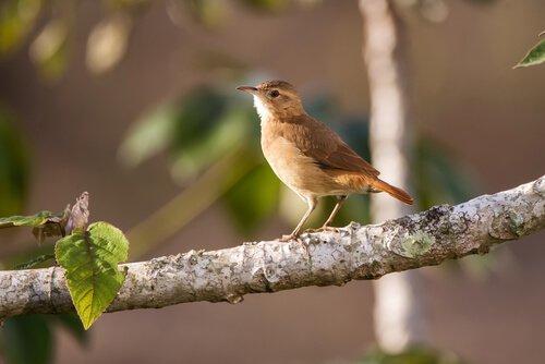 Uccello fornaio su ramo