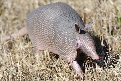 Armadillo cammina in un campo di grano