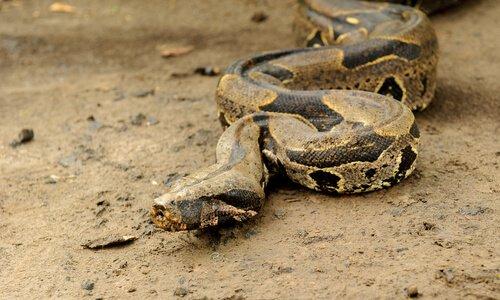 Boa constrictor: caratteristiche, comportamento e habitat