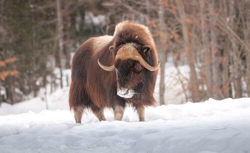 La fauna della Groenlandia