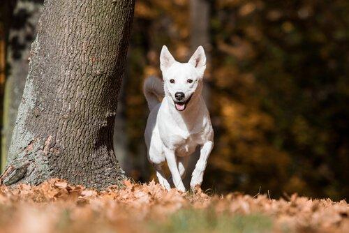 Canaan Dog, un cane fedele dall'anima selvaggia