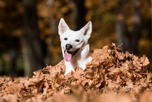 Canaan Dog emerge da un letto di foglie autunnali