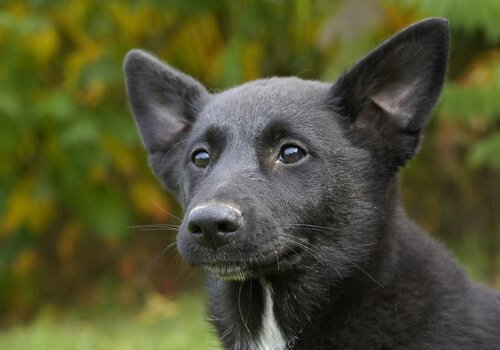 Canaan Dog nero