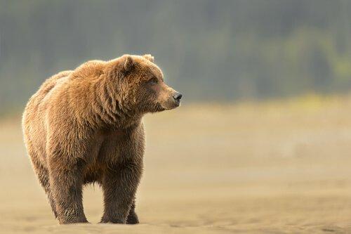 Grizzly cammina su un terreno