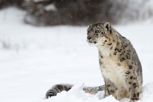 Leopardo delle nevi seduto sulla neve himalayana