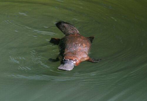 Ornitorinco: conosciamo questo animale curioso