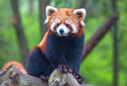 Panda minore: un orso che sembra un procione