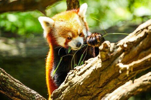 Panda minore mangia del bambù