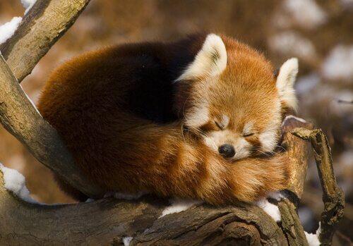 Panda minore mentre dorme raggomitolato