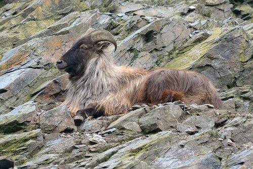 Tar esemplare di fauna dell'Himalaya