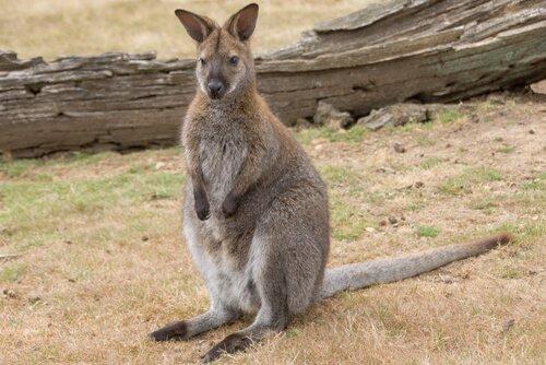Wallaby fermo accanto a un tronco