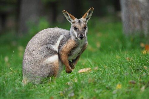 Wallaby: un piccolo canguro tutto da scoprire