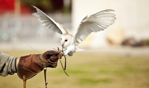 un barbagianni usato da un falconiere