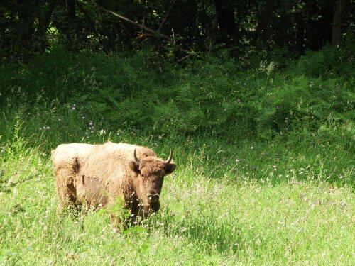 La storia del bisonte europeo: salvato dall'estinzione