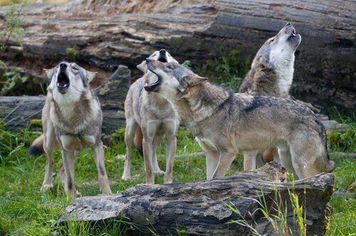 Un branco di lupi che ululano assieme
