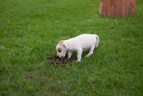 Trattamento della coprofagia nei cani