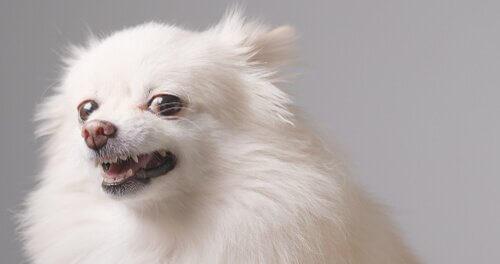 Cagnolino bianco mostra i denti