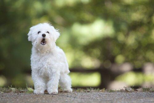Cagnolino bianco in piedi su una strada