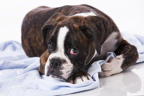 Tumore venereo trasmissibile, il tumore contagioso dei cani