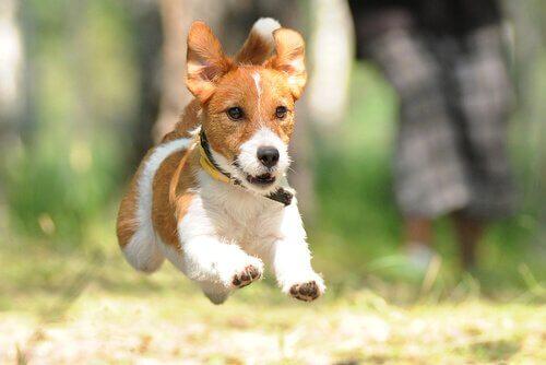 Cagnolino terrier corre all'aria aperta