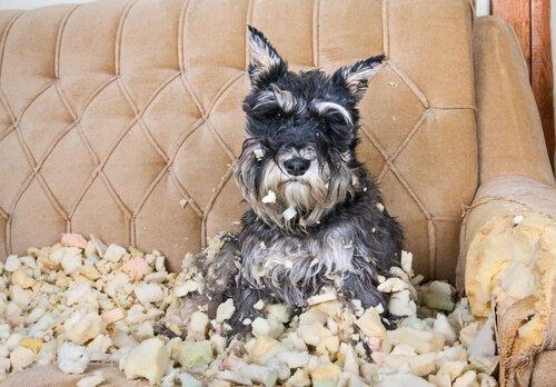 Cane che ha distrutto un divano