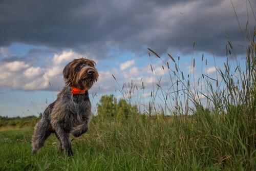 Cane da caccia sul prato