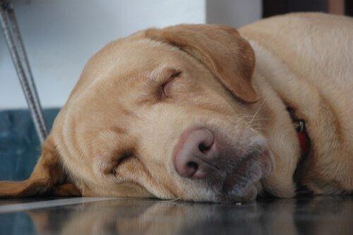 Cane anziano dorme sul pavimento