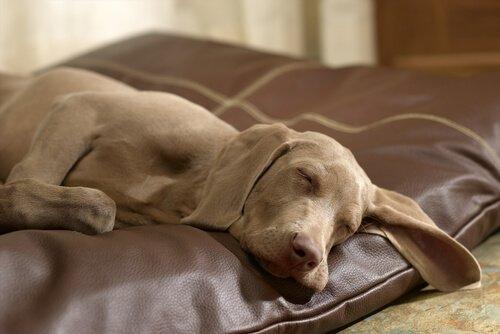 Cane dorme rilassato su un cuscino di pelle