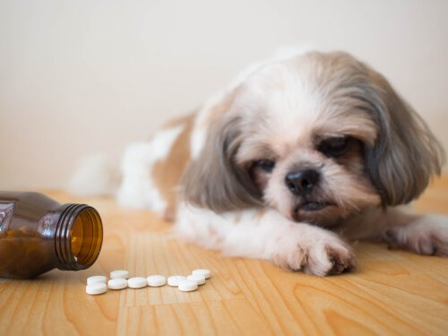 Cane guarda un flacone di medicine aperte