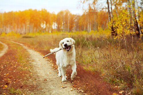 Golden retriever nel bosco con bastone in bocca