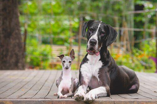 Perché i cani piccoli hanno più carattere di quelli grandi?