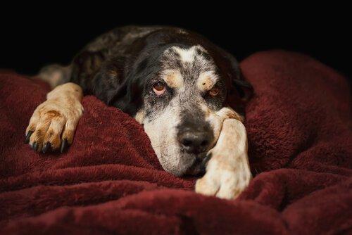 Cane riposa sulle coperte rosse di un letto