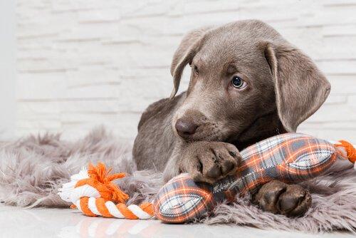 La protezione delle risorse nei cani
