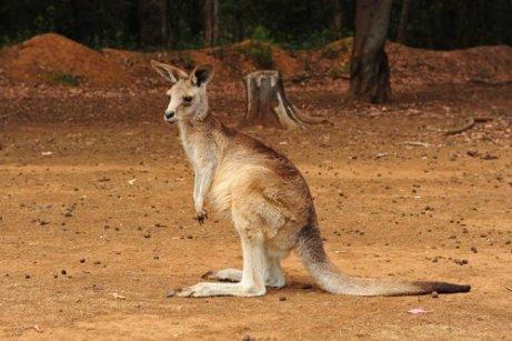 Canguro australiano di profilo su un terreno secco