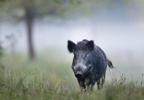 un cinghiale nero cammina in un bosco