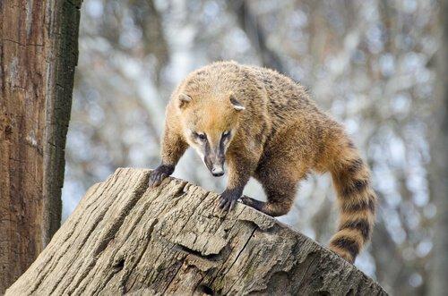 Il coati, un animale simpatico dal naso allungato