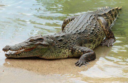 Coccodrillo del Nilo appoggiato sul bagnasciuga