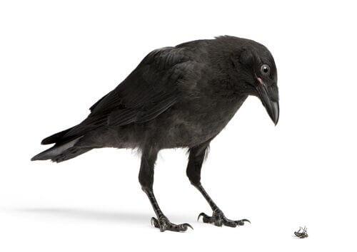 un corvo con le ali chiuse osserva una mosca
