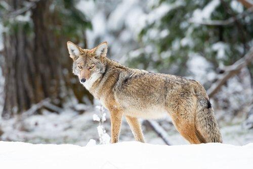Coyote adulto in un bosco innevato