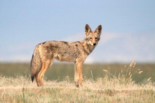 Coyote, alla scoperta del lupo della prateria