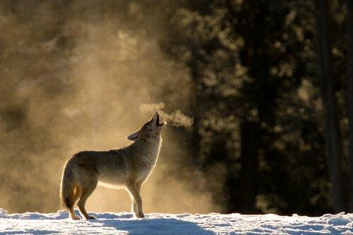 Coyote ulula accanto a una foresta