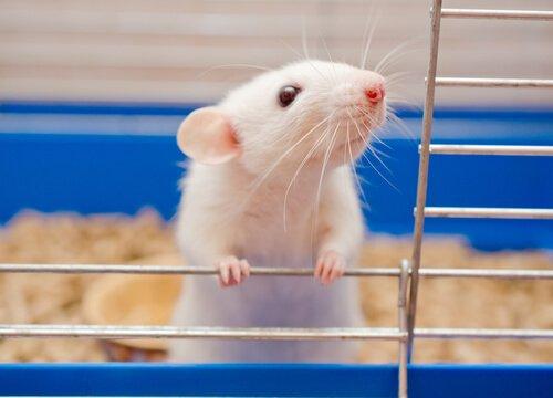 Un topo appoggiato alle sbarre della gabbia.